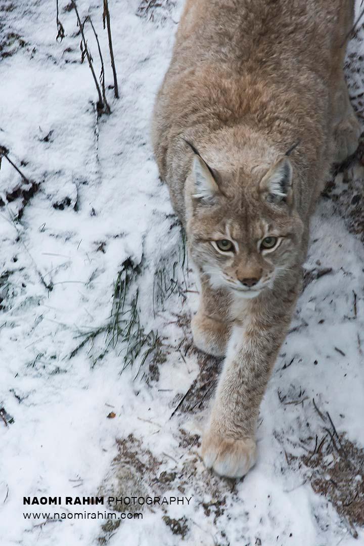 Eurasian lynx in snow, Lynx lynx, Finland - Stock Image